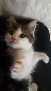 Lovely Kitten Alex..8 weeks old