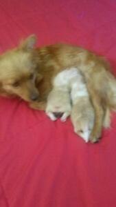 Pomeranian x mini foxie Bundamba Ipswich City Preview
