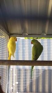 indian ringnecks price is for all 5. Elizabeth Downs Playford Area Preview
