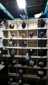 Pigeon for sale Doveton Casey Area Preview