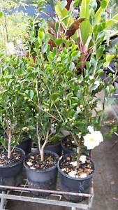 Sasanqua camellias Ipswich Ipswich City Preview