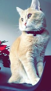 Persian Bengali Male Cat for free