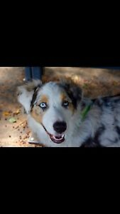 Female Australian Shepherd needs a loving home