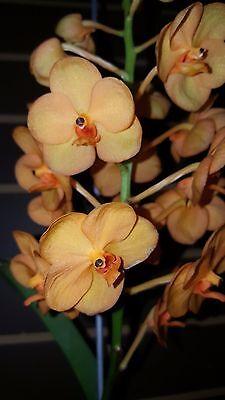 Orchid  Vanda  Ascda  Suksamran Sunlight Sweet Orange    South Florida Grown