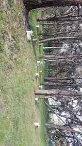 Bee swarm service Northcote Darebin Area Preview