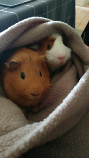 Cute guinea pigs need new home