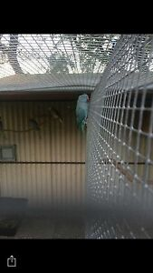 Blue female ringneck Bilambil Tweed Heads Area Preview