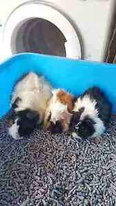 $30 Baby &  $40 Adult guinea pigs for sale Chatswood Willoughby Area Preview