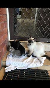 make me a good offer she is a beautiful Ragdoll cat