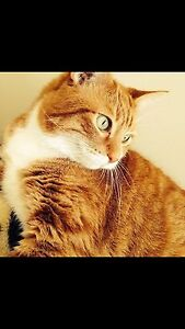 Cuddly Orange Cat looking for a Cuddly Owner Cambridge Kitchener Area image 1