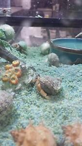Hermit Crabs - Small, Medium, Large and Extra Large Airport West Moonee Valley Preview