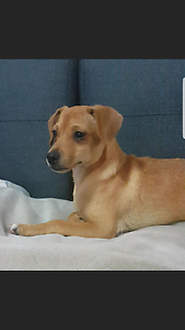 Chug Puppy For URGENT sale Bankstown Bankstown Area Preview