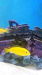 African cichlids, bristlenose and plecos for sale. Lobethal Adelaide Hills Preview