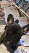 French Bulldog female pure breed Sydney City Inner Sydney Preview