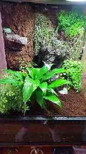 Frog vivarium (with green tree frog) for sale. DESPERATE SALE Joondalup Joondalup Area Preview