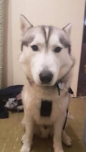 Beautiful Siberian Husky looking for forever home. Doncaster East Manningham Area Preview