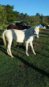 Companion Pony Boyland Ipswich South Preview