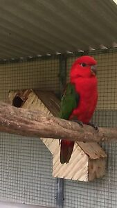Yellow backed chattering Lory hen Londonderry Penrith Area Preview