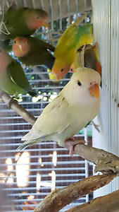 Rear White/lime baby peachface for sale Springfield Gosford Area Preview