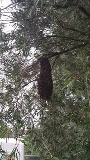 Bee swarm or hive removal Wollongong 2500 Wollongong Area Preview