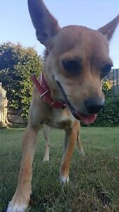 Chihuahua x Redbank Plains Ipswich City Preview