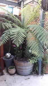 Tree fern in a half wine barrow planter (6ft) Chadstone Monash Area Preview