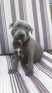 amstaff puppies from Highland Park Gold Coast City Preview