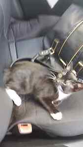 gorgeous male black and white kitten North Tamworth Tamworth City Preview