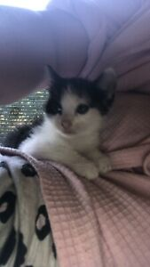 8 weeks old kitten a boy and a girl $50 pick up blacktown nsw