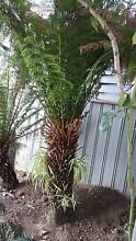 3x Large Tree Fern's - must go Pakenham Cardinia Area Preview