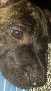 English staffy x American staffy Female Ottoway Port Adelaide Area Preview