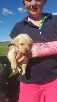 Beautiful Labrador Puppy Loomberah Tamworth Surrounds Preview