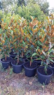 LITTLE GEM MAGNOLIAS 1.4MTS FROM TOP OF POT ONLY $89
