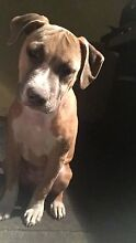 Lost puppy. American Staffy Peterborough Peterborough Area Preview