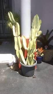 Euphorbia / pseudo cactus