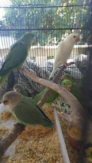 Handraised Indian Ringnecks for sale!! Vincent Townsville City Preview