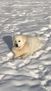 Registered working Great Pyrenees