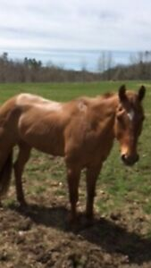 15 Year Old Registered American Quarter Horse Gelding