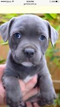 WANTED: BLUE ENGLISH STAFFY PUPPY St Kilda Port Phillip Preview