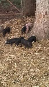 Berkshire Piglets for sale Upper Fine Flower Clarence Valley Preview
