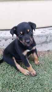 Australian Kelpie Pruebred Blue, Red, Black/Tan Pups  (Best Mate) Deception Bay Caboolture Area Preview