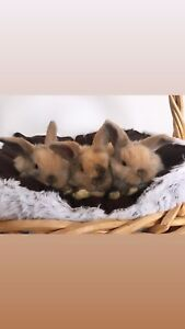 Adorable Purebred Holland Lop Bunnies Available