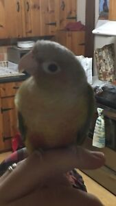 Tame pineapple conure for sale