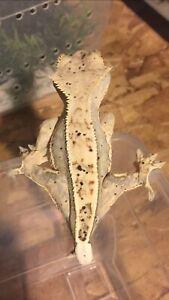 Crested geckos/terrariums/reptile supplies