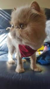 Affectionate Adult Persian Cats Maitland Maitland Area Preview