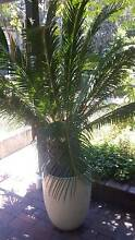 Cycad palm Balcatta Stirling Area Preview