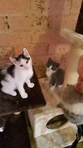 Rag doll cross Turkish kittens 9 weeks Woonona Wollongong Area Preview