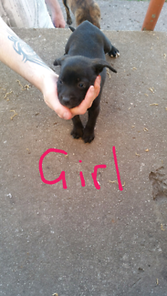For sale 4 American staffy cross pups
