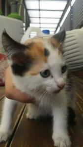 Beautiful House Kittens Campbellfield Hume Area Preview