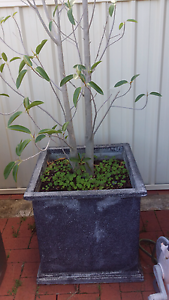 Ficus Tree Craigmore Playford Area Preview